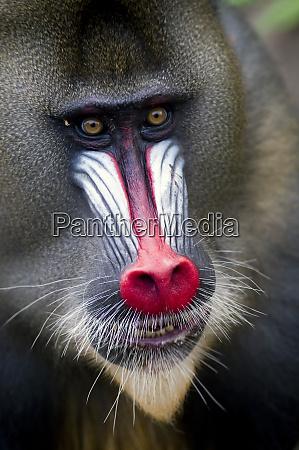 portrait of a male mandrill mandrill