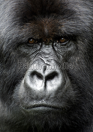 silverback gorilla looking intensely in the