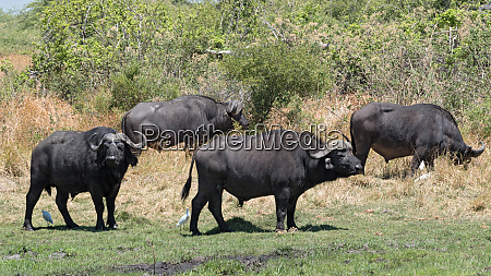 water buffalo and cattle egret in