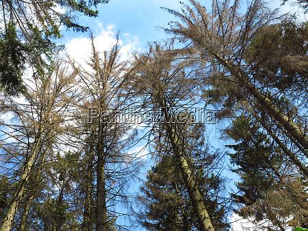 forest dieback forest decline dead spruces