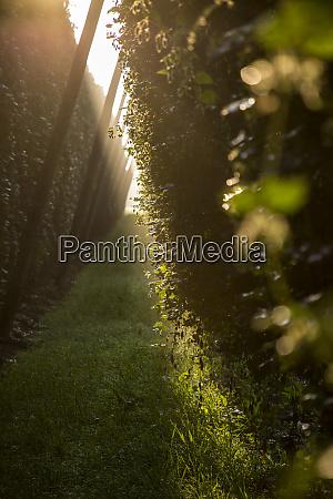 cultivation hop plant