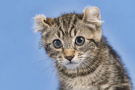 cats american curl 2019 18119