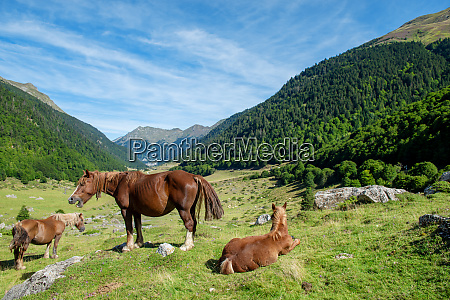 horses grazing in the valley dossau