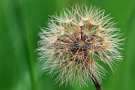 fruit stand stiff haired dandelion leontodon