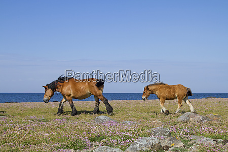 mare with foal in the nature
