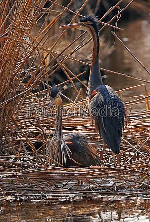 a pair of purple herons in