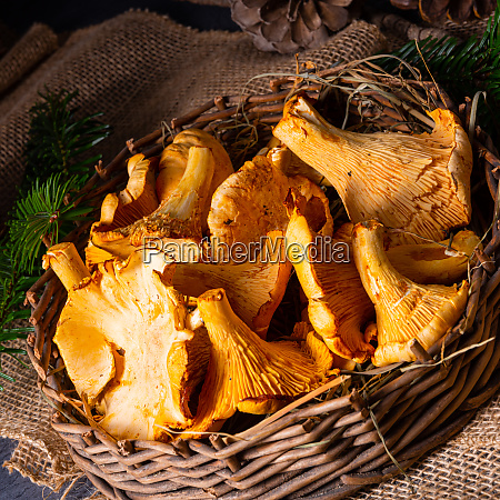 real chanterelle enjoyment from the forest