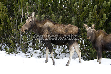 a cow and calf moose stand