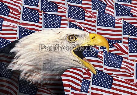 composite portrait of bald eagle against