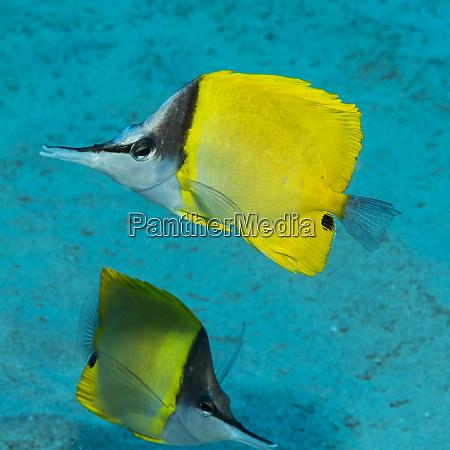 forceptfish forcipiger flavissimus pair off kauai
