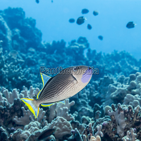 male gilded triggerfish xanthichthys auromarginatus with