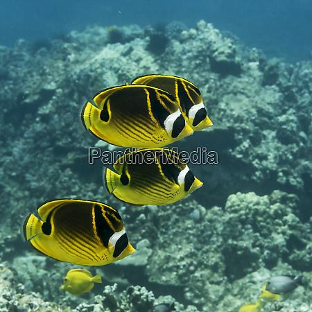 four racoon butterflyfish chaetodon lunula swim