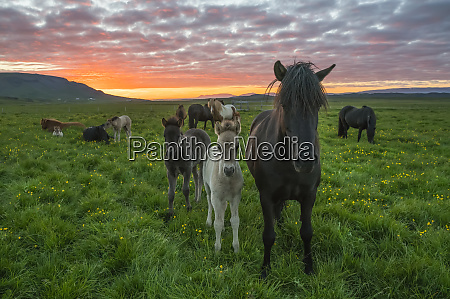 icelandic horses walking in a grass
