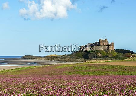 field of purplerose campion flowers in
