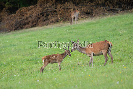 red deer youngster standing close to