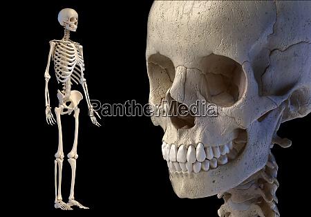 human skull close up and full