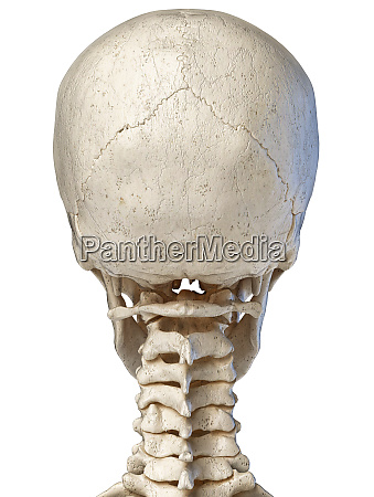 human skull viewed from the back
