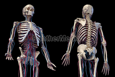 human skeleton with veins and arteries