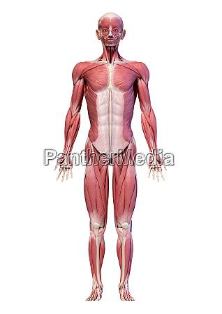 human body full figure male muscular