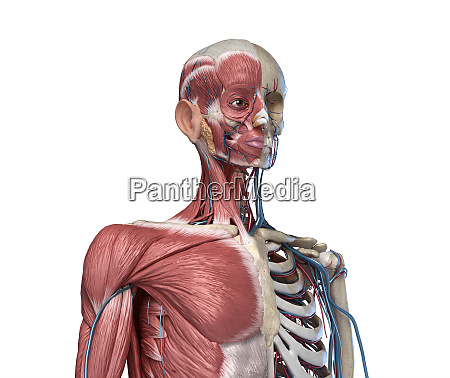 human torso skeleton with muscles veins
