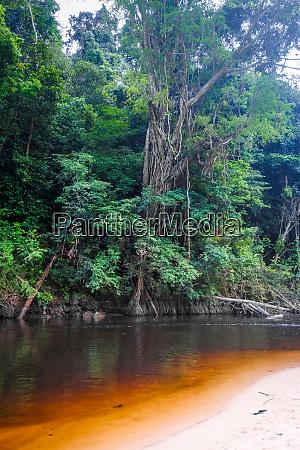 river in jungle rainforest taman negara