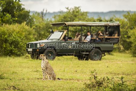 cheetah acinonyx jubatus sits on grass