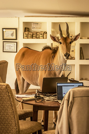 eland connochaetes taurinus stands in business