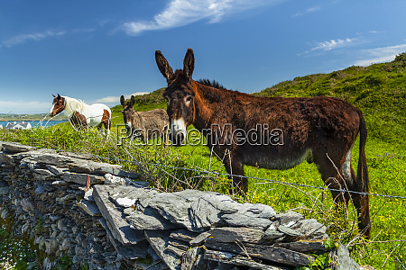 horse and two donkeys graze in