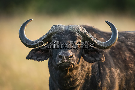 close up of cape buffalo syncerus