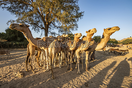 camels at the monday livestock market