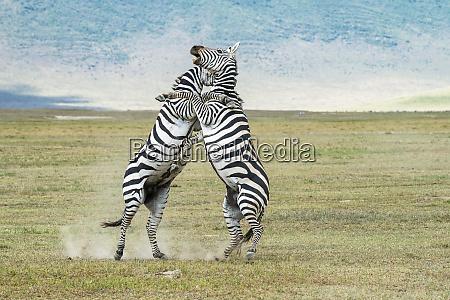 pair of zebra equus grevyi stallions
