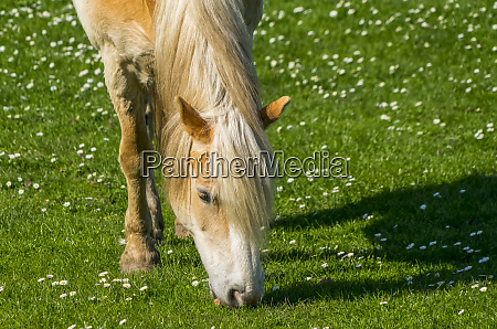 close up of a horse grazing