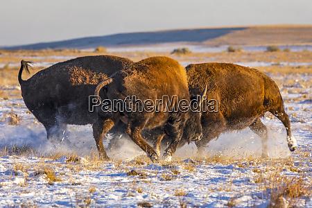 three bison bison bison showing aggression