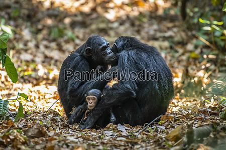 female chimpanzees pan troglodytes grooming each