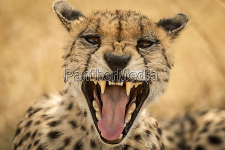 close up of female cheetah acinonyx