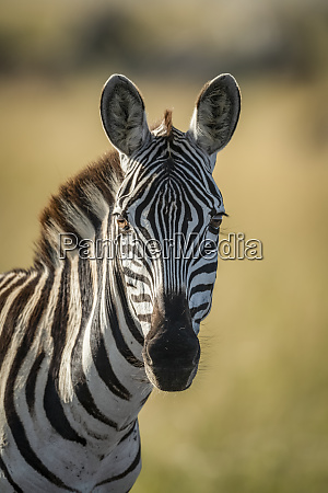 close up of plains zebra equus