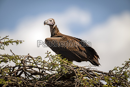 lappet faced vulture torgos tracheliotos on