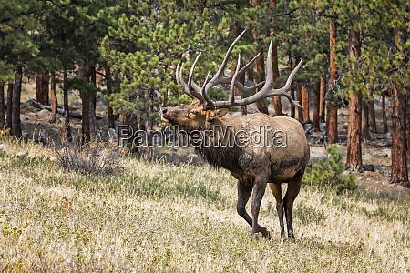 bull elk cervus canadensis denver colorado