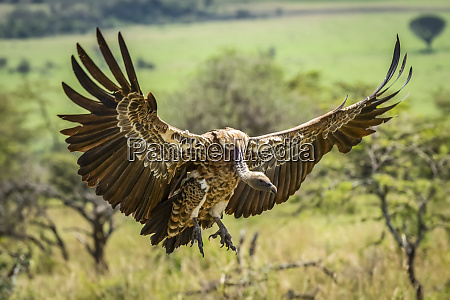 white backed vulture gyps africanus stretches