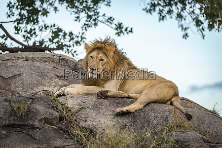 male lion panthera leo lies on