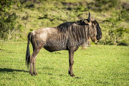 blue wildebeest connochaetes taurinus stands in