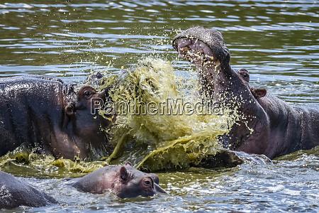 close up of hippo hippopotamus amphibius