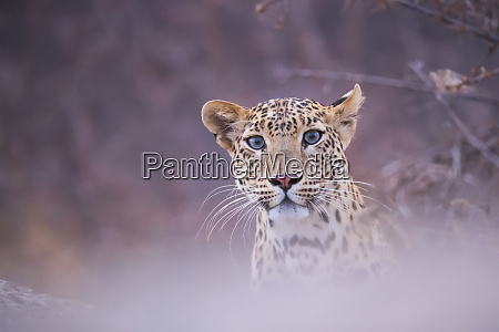 leopard panthera pardus looking at the