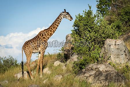 masai giraffe giraffa camelopardalis tippelskirchii browsing