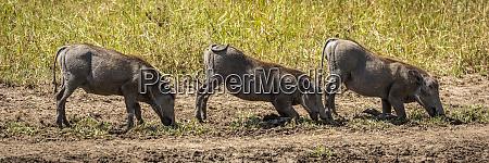 three common warthog phacochoerus africanus graze