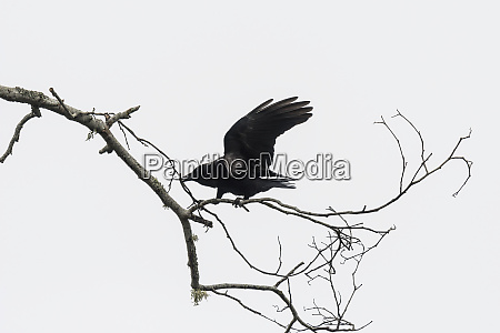 an american crow corvus brachyrhynchos collects