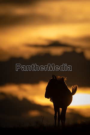 blue wildebeest stands silhouetted on sunset
