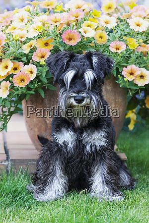 furry miniature schnauzer dog sitting and