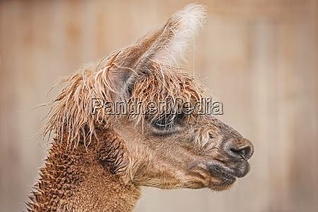 portrait, of, alpaca - 27291114