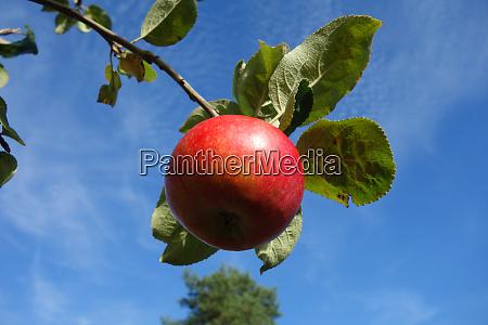 red elstar apple